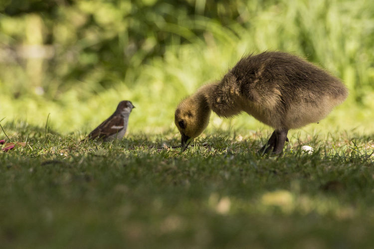 Familienausflug :) Animal Animal Family Animal Themes Animal Wildlife Animals In The Wild Bird Day Field Gosling Grass Group Of Animals Land Outdoors Selective Focus Two Animals Vertebrate Young Animal Young Bird
