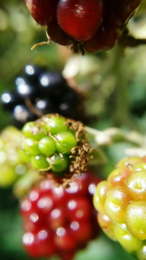 Blackberries Multicolors  Fall Beauty Getting Creative Stages of Ripening Macro_collection Macro Nature EyeEm Nature Lover Glitch Macro Beauty
