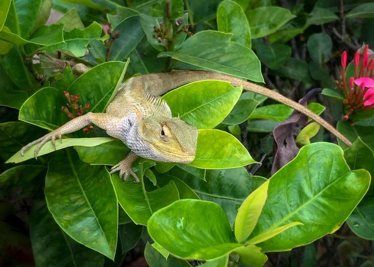 Garden lizard - Hello, good morning. Calotes Versicolor Changeable Lizard Long Tail Oriental Garden Lizard Garden Lizard Lazing Around Garden October 2018 Plant Part Leaf Animals In The Wild Animal Wildlife Animal Themes One Animal Animal Lizard Vertebrate Reptile Close-up Green Color Plant Nature Day Outdoors No People