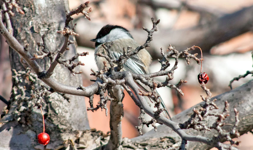 Black Capped Chickadee Perching in a Crab Apple Tree. 02 Crabapple Tree Animal Themes Animal Wildlife Animals In The Wild Beauty In Nature Bird Blurred Background Branch Chickadee Close-up Crabapple Day Focus On Foreground Nature No People One Animal Outdoors Perching Tree Twig