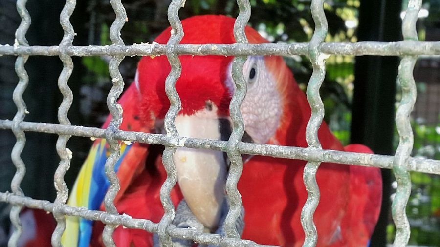 Close-up Full Frame No People Day Red Color Red Bird Birdcage Beauty Outdoors Beauty In Nature Animal Eye Animalphotography Animal Head  Parrot Parrot Bird Parrot Zoo Parrots Parrot Lover