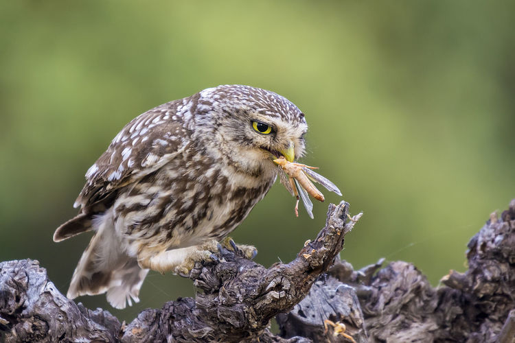 Animal Themes Animal Wildlife Animals In The Wild Athene Noctua Bird Bird Of Prey Close-up Day Focus On Foreground Little Owl Nature No People One Animal Outdoors Owl Perching