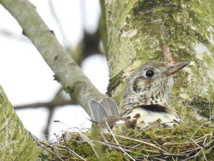 Bird Mistle Thrush Animal Wildlife Nature Close-up Outdoors Not Cropped Bird Nest Wildlife & Nature