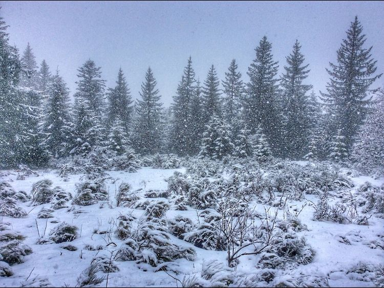Snow Winter Tree Cold Temperature Nature No People Outdoors Beauty In Nature Forest Scenics Clear Sky Tranquility Coniferous Tree Sky Day Mountain