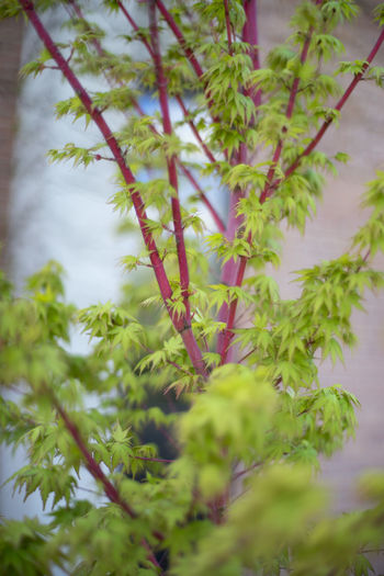 Beauty Beauty In Nature Colors Green Color Growing Growth Maple Nature Twig Young Maple
