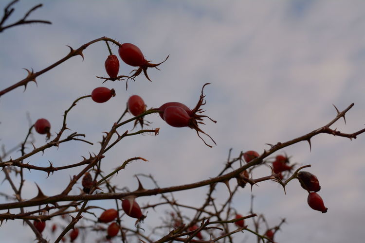 Rosehips Berries Berries On A Branch Berries On Tree IsleOfSkye Nature Plant Plant Life Plant Part Scottish Twigs Wood Berries And Leaves Berries Collection Berries On Branch Blue Bulbs Clouds Foraging Nopeople Plants And Flowers Rose - Flower Rosehip Tangle Thorns Thorns And Beauty