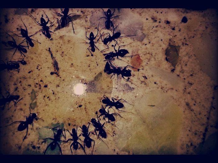 Ants Feasting