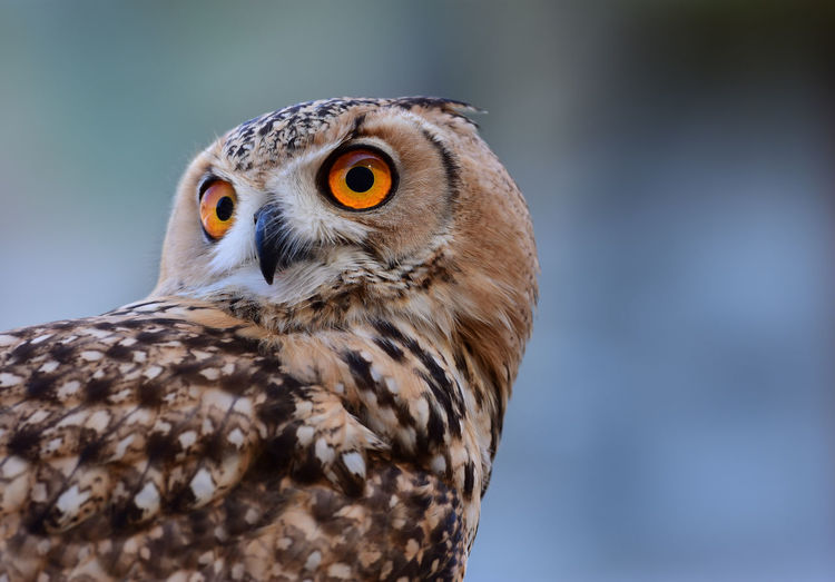 CLOSE-UP OF ALERT OWL LOOKING AWAY