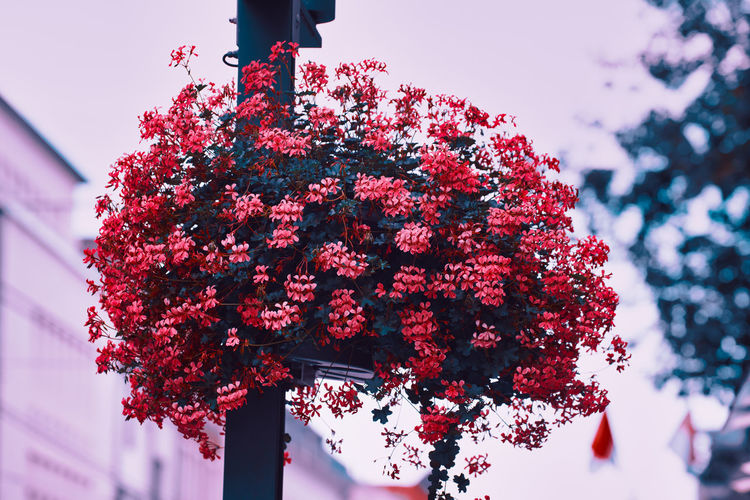 Low angle view of cherry blossom hanging from tree