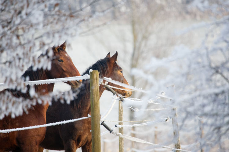 Two horses in a winter landscape, looking over a fence