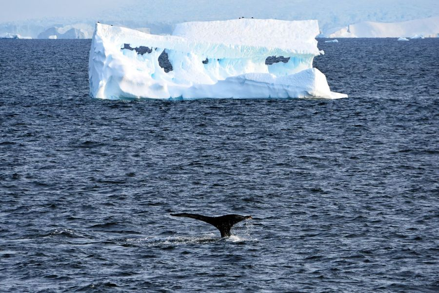 Animal Themes Antarctic Antarctic Peninsula Antarctica Frozen Humpback Humpback Whale Ice Landscape Sea Water Whale Whale Watching Whales Winter Wonderland