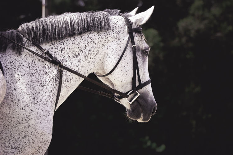 White Horse Wearing Bridle
