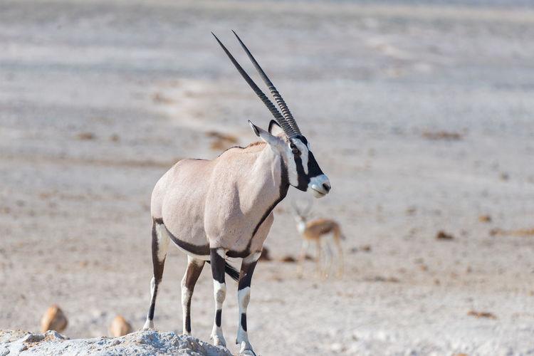Oryx standing on field