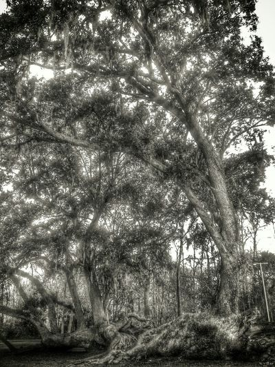 This Black And White tree was meant for Streamzoo, but we must migrate due to the forth coming shutdown. Nature Eyem Best Edits