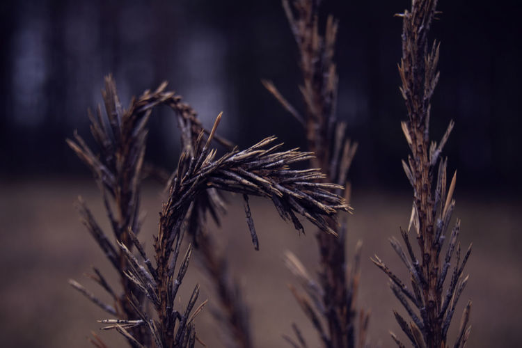 Close-up of dry plants against blurred background