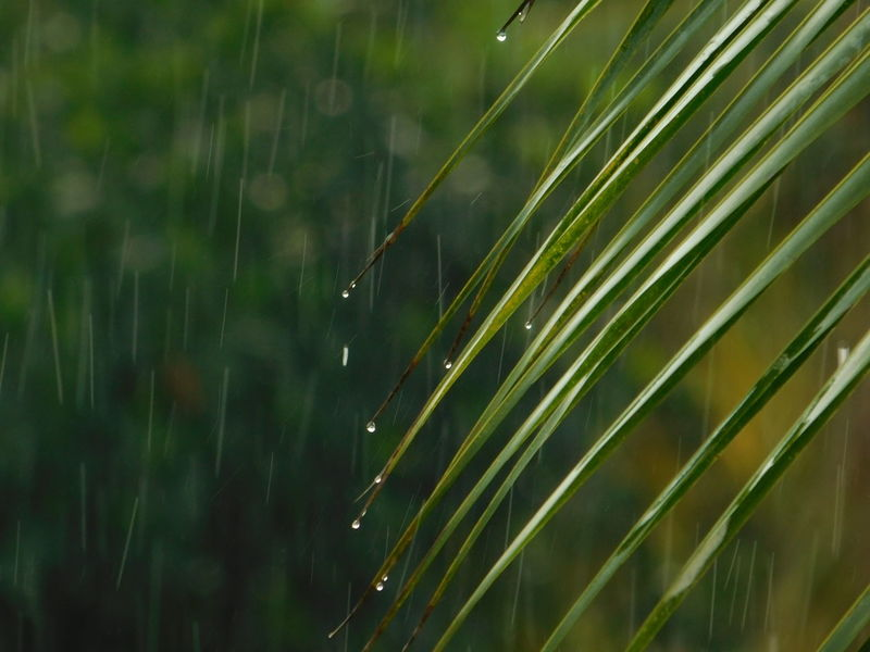 Rain Tranquil Scene Clam depth of field Coconut Leaf Green Background Background Bokeh Greenery Water Drop Close-up RainDrop Monsoon Wet Rain Rainfall Droplet Torrential Rain Rainy Season Splashing Droplet Leaf Vein Water Drop