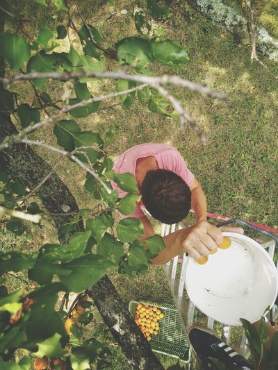 Apricot Tree Apricots Crop  Fruits Garden Photography Garden Fresh From The Garden Apricot Gardening Fruit Picking Summer Summertime Ladder Real People One Man High Angle View One Person Day Tree Bucket Looking Down Sommergefühle
