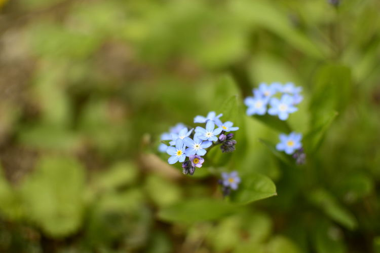 Spring collection Beauty In Nature Blooming Blossom Blue Close-up Day Flower Flower Head Forget Me Not Forget Me Nots Fragility Freshness Green Color Growth Nature No People Outdoors Plant Background