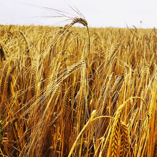 Nature Countryside Farming Fields Fieldscape Crops Wheat Field Cornwall Summer