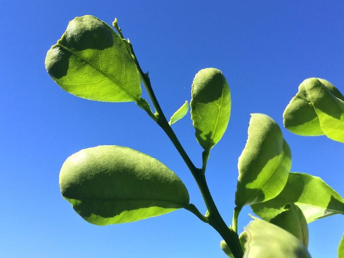 Low angle view of green plant against clear blue sky