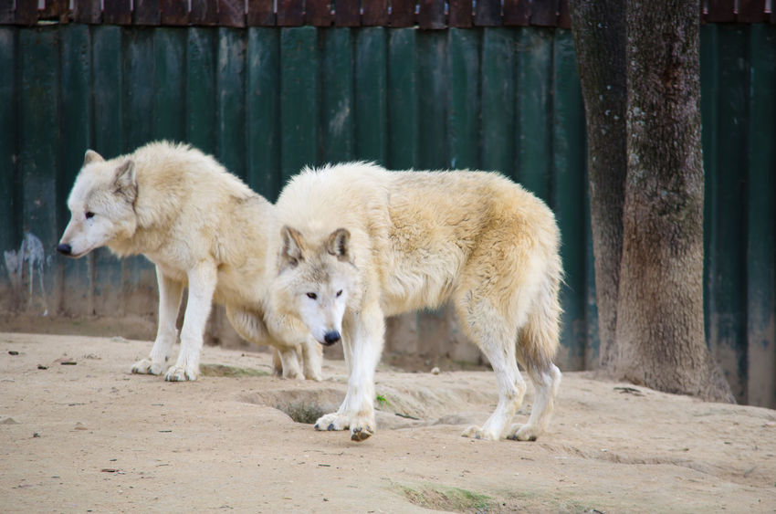 Animal Animal Themes Animals Madrid Mammal One Animal Predator SPAIN Two Animals White White Wolf Wild Wildlife Wildlife & Nature Wolf Zoo Zoo Animals  Zoology