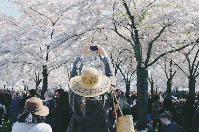 Cherry Tree White Flower Blooming Tree Botanical Full Frame People From Behind Strawhat Woman Flourishing Sakura Trees Sakura Festival Sakura Blossom Blooming Freshness Real People Lifestyles Large Group Of People Tree Crowd Leisure Activity Group Of People Adult Women Plant Clothing Day Rear View Nature Hat Outdoors