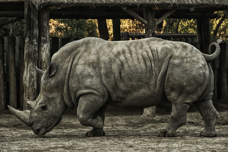Animal Animal Themes Mammal Vertebrate Day Animal Wildlife Domestic Animals Animals In The Wild One Animal No People Rhinoceros Field Nature Land Zoo Livestock Outdoors Standing Tree Herbivorous