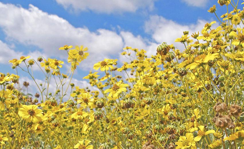 Cloud - Sky Encelia Farinosa Brittlebush Los Angeles Hills No People Scenics Sky Tranquility Yellow