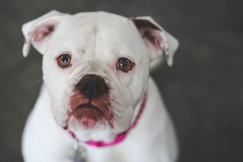 Eyes Cute American Bulldog Dog One Animal Canine Domestic Pets Domestic Animals Mammal Animal Themes Protruding Indoors  Animal Head  Animal Body Part Animal No People Looking At Camera Close-up Portrait