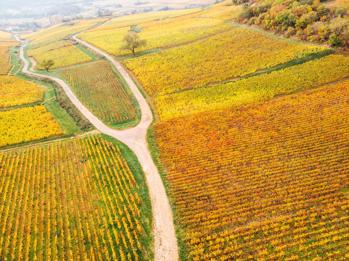 Scenic view of agricultural field. aerial view of vineyards during autumn. golden vineyards
