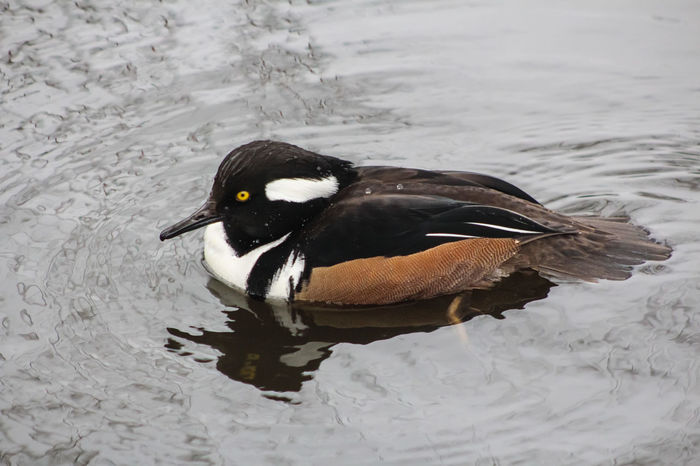 Animal Themes Animal Wildlife Animals In The Wild Beak Bird Close-up Day Duck High Angle View Hooded Merganser Lake Nature No People One Animal Outdoors Swimming Water