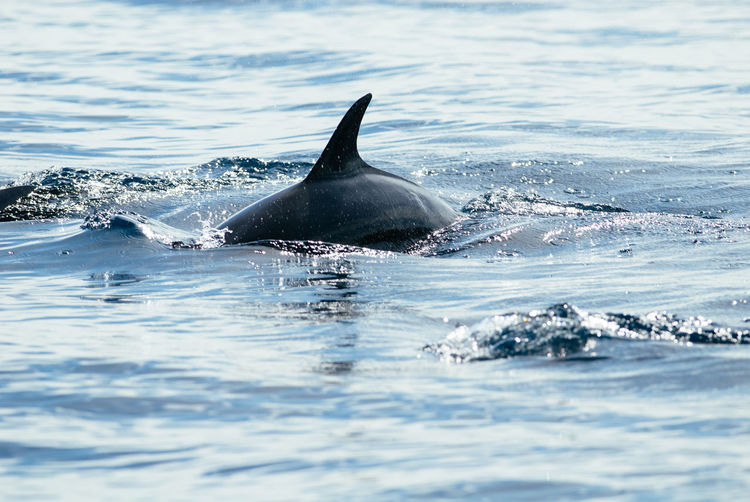 Dolphin swimming in sea in bunaken national park