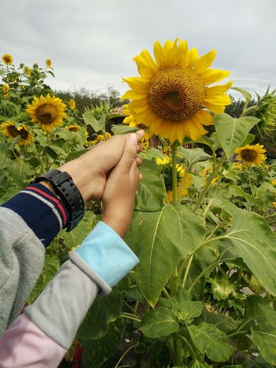 Close-Up Of Couple Hands Against Sunflower Field