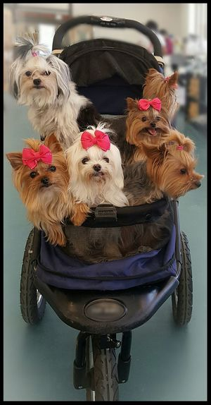 Puppy power Basket Pets No People Outdoors Day Close-up Mammal Dogs Dogs Of EyeEm Pink Bows Fancy Dog Puppy Love Strolling Around Pet Stroller Pet Photography  Pet Love Yorkshire Terrier Terrier Puppy Small Dog