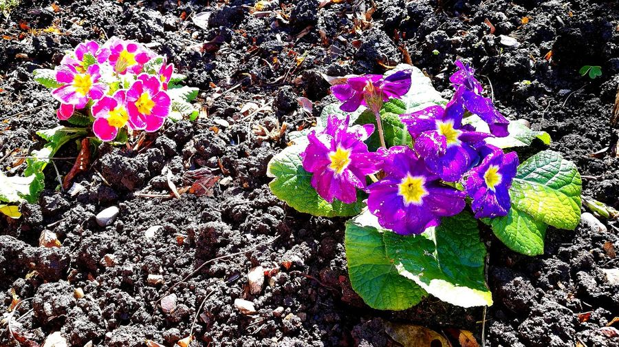 Flower Purple Outdoors Day Beauty In Nature Primula