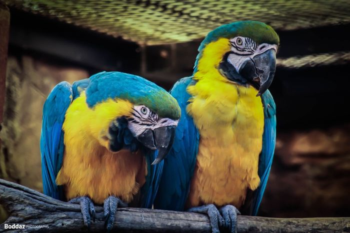 Macaw Parrot Gold And Blue Macaw Macaw Bird Parrot Animals In The Wild Animal Themes Wood - Material Perching Animal Wildlife Focus On Foreground Blue No People Day Outdoors Close-up Yellow Beauty In Nature Nature Likeforlike #likemyphoto #qlikemyphotos #like4like #likemypic #likeback #ilikeback #10likes #50likes #100likes #20likes #likere Portrait Be. Ready.