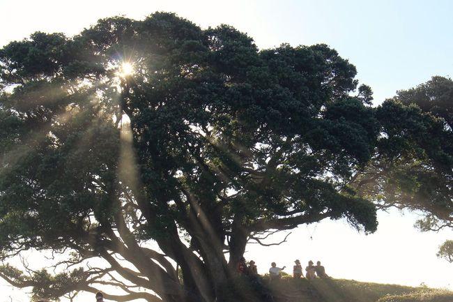 Beauty In Nature Day Growth Light Lush Foliage Nature Outdoors Pohutukawa Sunflare Sunset Tree Tree Trunk