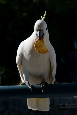 Australian Sulphur-crested Cockatoo (Cacatua galerita), eating a cracker/biscuit standing on a balcony rail. Gosford, New South Wales, Australia. photograph by Geoff Childs. Animal Themes Animal Wildlife Animals In The Wild Beak Bird Close-up Cockatoo Day Full Length Nature No People One Animal Outdoors Parrot Perching