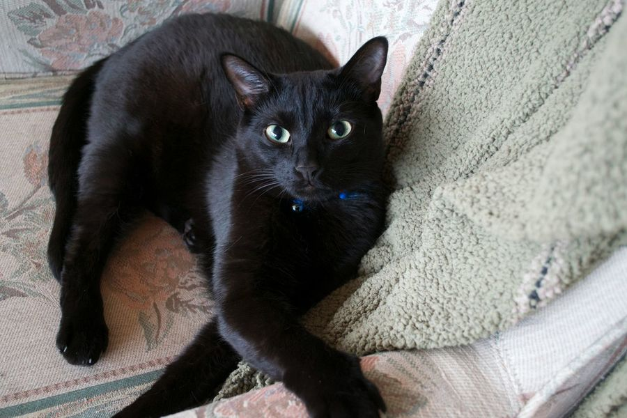 Nikon Animal Photography Animal Portrait Black Cat On A Chair Eye Contact Black Cat Looking At Camera Sitting On A Chair Posing For The Camera