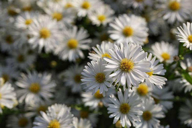 가을 하늘처럼 참 곱구나 - 미국쑥부쟁이 . . #하루한컷 #미국쑥부쟁이 #가을 #나리공원 #5DMARK4 #백마엘 #EF100MMF28LMACROISUSM Flower Head Flower Springtime Petal Uncultivated Summer Pollen Close-up Plant