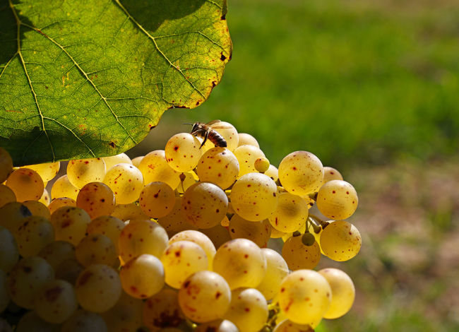 Close up of shinygolden ripe Autumn grape racemation bunches in vineyard Agriculture Autumn Bunch Of Grapes Copy Space Freshness Golden Growth Hanging Shiny Bee Bunch Close-up Crop  Day Food Food And Drink Grape Harvest Leaf Ripe Season  Vineyard Winemaking Wineyard Yellow Food Stories