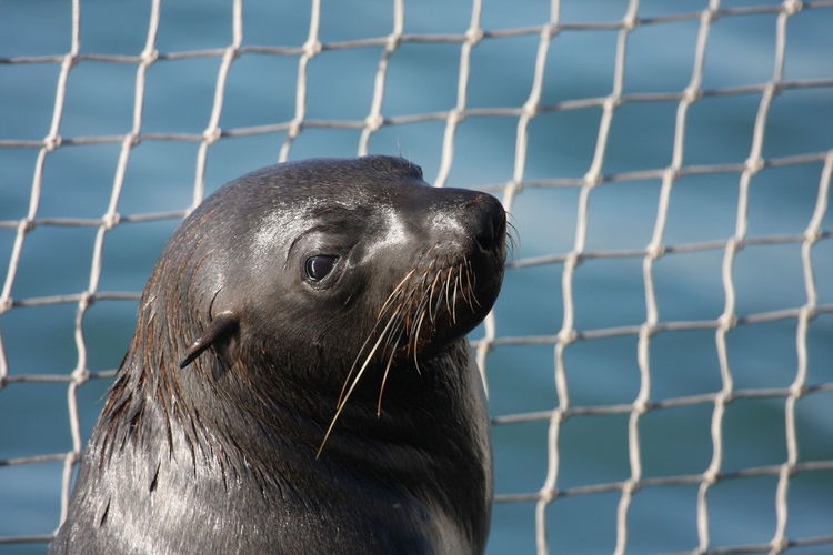 Animal Body Part Animal Themes Animal Wildlife Animals In The Wild Aquatic Mammal Close-up Day Fence Mammal No People One Animal Outdoors Sea Sea Life Sea Lion Seal - Animal Water