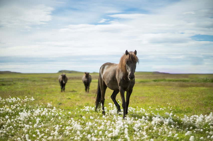 icelandic horses Black Horse Field Grass Horses Iceland Iceland Pony Nature Open Field Pony Animal Animals Domestic Animals Field Flowers Free Animals Group Of Horses Herd Horse Iceland Horse Icelandic Horse Landscape Nature Outdoors Summer Three Horses The Week On EyeEm