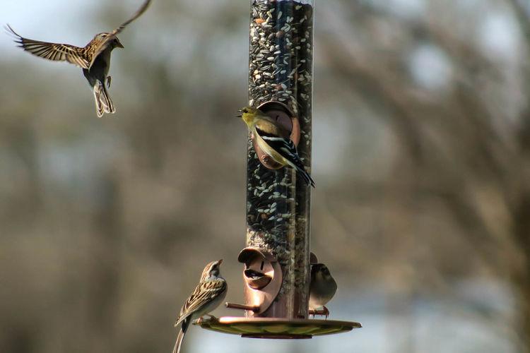Sparrows On Bird Feeder
