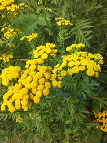 Tansy!!! Пижма!!! EyeEm Nature Lover Natural Beauty Nature Naturally Me Flower Flowers, Nature And Beauty Flovers🌺beautiful Love 💕 Flowers For My Friends Flover, Green, Summer Nature Photography Nature_collection Summer ☀ EyeEm Best Shots - Nature Flower Collection Flower Photography