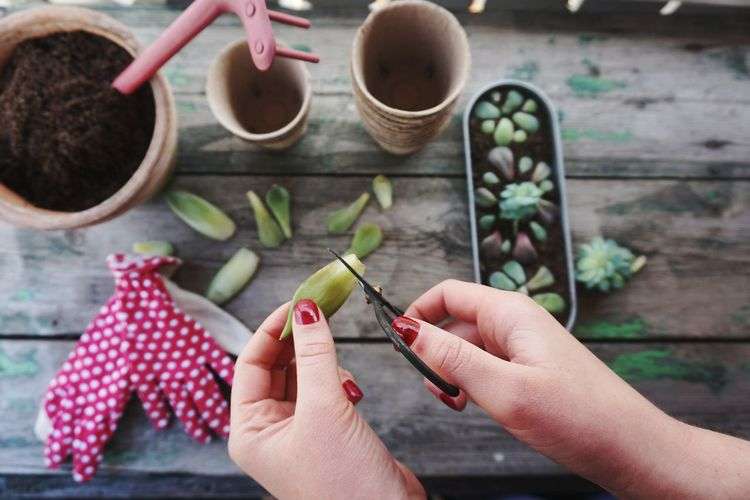 propagation of succulents Garden Gardening Planting Propagation Plant Plants Succulents Succulent Plant Succulents Succulent Plants Hands Hands At Work Planting EyeEm Selects Human Hand Studio Shot Women Red Close-up Nail Polish Fingernail
