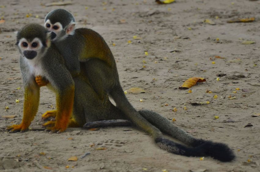 Animal Love Togetherness Family Bonds Monkey Family No People Family In Nature No People Outdoors Monkey Nature Amazon River Colombia Rainforest Cute Looking Saimiri Sciureus Squirrel Monkey Beauty In Nature Family