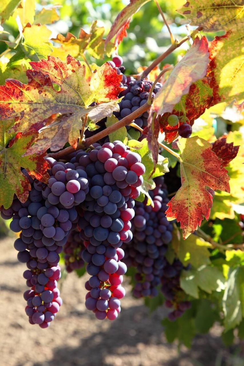 fruit, grape, food and drink, growth, bunch, vineyard, outdoors, day, nature, leaf, no people, abundance, food, winemaking, focus on foreground, freshness, autumn, agriculture, hanging, close-up, beauty in nature, healthy eating, tree, vine - plant