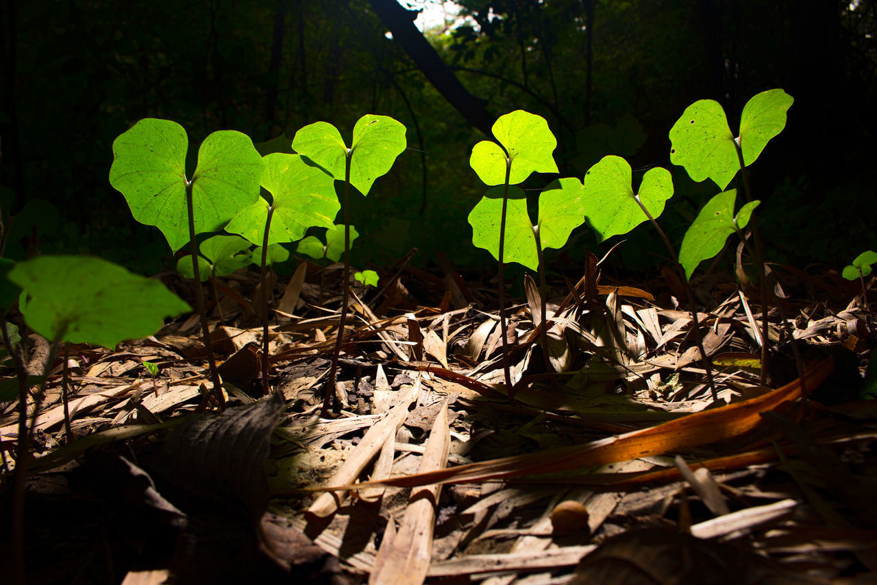 plant, leaf, plant part, growth, nature, green color, close-up, no people, beauty in nature, day, sunlight, selective focus, outdoors, tranquility, land, field, forest, tree, fragility, vulnerability, leaves, clover