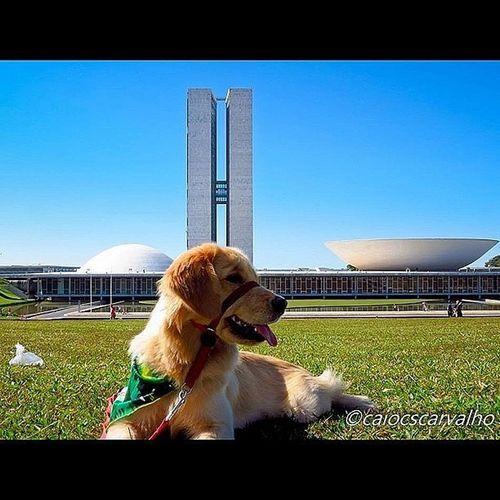 Pearl ... Golden Retriever Congressonacional Brasília Dogs